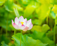Closeup lotus flower Royalty Free Stock Photos