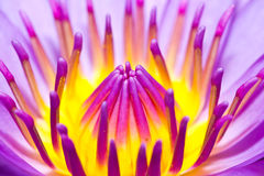 Closeup  lotus  flower Stock Photos