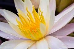Closeup  lotus  flower Stock Photography