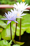 Closeup lotus flower Stock Images
