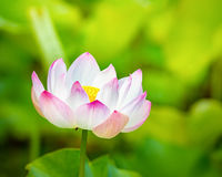 Closeup lotus flower Stock Photography