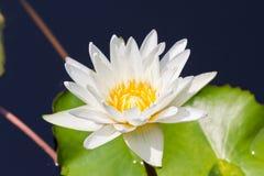 Closeup Lotus flower Stock Photo