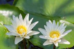 Closeup Lotus flower Stock Photos