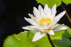 Closeup Lotus flower Royalty Free Stock Image