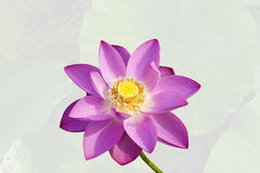 Closeup of lotus flower. On the white background Royalty Free Stock Photos