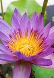 Closeup lotus Royalty Free Stock Photos