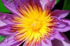 Closeup lotus Royalty Free Stock Images
