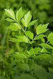 Closeup of lovage Stock Photo