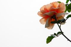A closeup of a peach rose with the contrast of white background. royalty free stock images