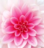 Closeup of a pink Dahlia flower. Closeup of a lovely pink Dahlia flower with dew drops on the petals Royalty Free Stock Photography