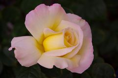 Closeup of single rose blossom with pink and yellow blush on dark background. Closeup of a lovely, single rose blossom tinged with both a pink and yellow blush royalty free stock photo