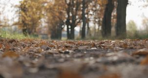 Closeup low angle falling autumn oak leaves in park. Wide photo stock image
