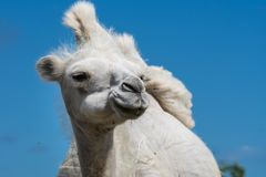 Closeup low angle front view of a female white camel royalty free stock photo