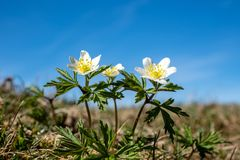 Closeup of a group of wood anemone flowers in sunshine. Closeup in low perspective of a group of wood anemone flowers sin spring sunshine against a blue sky Stock Image