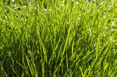 A closeup of lush green grass. With droplets of water hanging on some blades Stock Photos