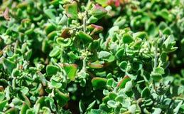 Closeup of lush green leaves of  plants. Closeup of lush green leaves of  plants in Africa stock photography