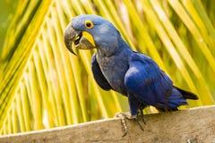 Closeup lyckliga Hyacinth Macaw Perching framme av Palm arkivfoton