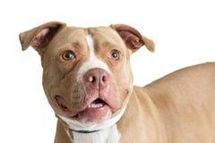 Closeup lyckliga vänliga Fawn Pit Bull Dog royaltyfria foton