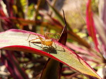 Closeup lynx spider on leaf Royalty Free Stock Photos