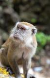 Closeup of Macaque monkey Stock Photo
