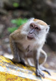 Closeup of Macaque monkey in Malaysia Royalty Free Stock Photography