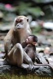Macaque monkey nursing young royalty free stock images