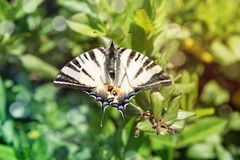 Closeup of Machaon butterfly on green bush.  royalty free stock images