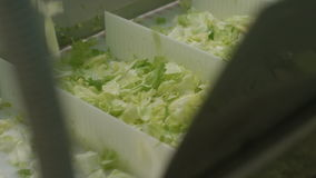 Closeup Machine Sorts Green Lettuce in  Boxes stock video