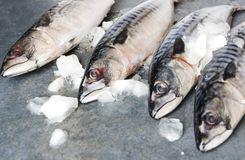 Closeup of mackerels on gray surface.Concept of market place and fish selling royalty free stock image