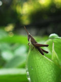 Closeup/macro Brown Grasshopper Stock Photos