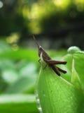 Closeup/macro Brown Grasshopper. The small brown Grasshopper stand on the leaf, the world of small creature stock photos