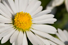 Closeup - Macro of Daisy Flower Royalty Free Stock Photography