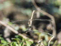 Closeup detail of wandering glider dragonfly on blade of grass Stock Photography