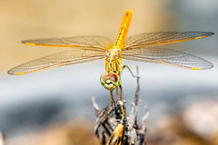 Closeup macro dragonfly hold on a branch of tree Stock Images