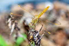 Closeup macro dragonfly hold on a branch of tree Royalty Free Stock Photos