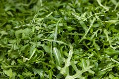 Closeup macro fresh green selected leaves of arugula herb. Concept diet, vegetarian, natural, low-calorie meal. S stock image