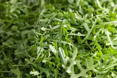 Closeup macro fresh green selected leaves of arugula herb. Concept diet, vegetarian, natural, low-calorie meal. S stock images