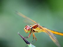 Closeup macro of a golden dragonfly Royalty Free Stock Image