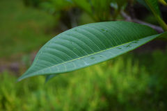 Closeup/macro green nature leaf on nature background. Royalty Free Stock Image