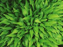 Closeup macro of hosta plantain lilies plant giboshi with water rain drops on green leaves.