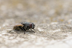 Closeup macro housefly musca domestica Stock Photos