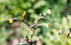 Closeup macro ladybug on the yellow dandelion Royalty Free Stock Photo