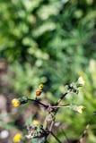 Closeup macro ladybug on the yellow dandelion Stock Photos
