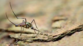 Closeup or Macro of Mosquito. On bark Stock Image
