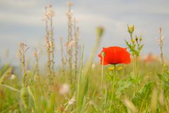 Field red poppy in spring, wheat field background Royalty Free Stock Photo