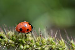 Red ladybug in the grass, macro and closeup photography Royalty Free Stock Photography