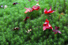 Closeup macro of red fall maple leaves on fresh green moss during autumn Stock Photography