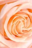 Closeup macro rose bud Stock Photo