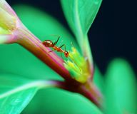 A Beautiful Ant On A Tree Brunch. stock photography