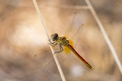 Closeup macro shot of beautiful dragonfly with amazing colors resting on a twig Royalty Free Stock Images